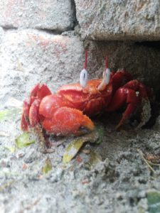 Mousuni Island - Red crab