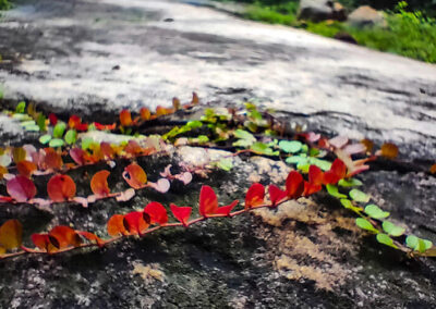 Sitarampur Flower on rock