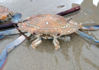 Mousuni Island Crab